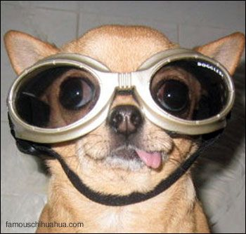 Doggles Chihuahua | The Lonely Tribalist