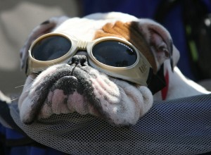 Doggles English Bulldog | The Lonely Tribalist