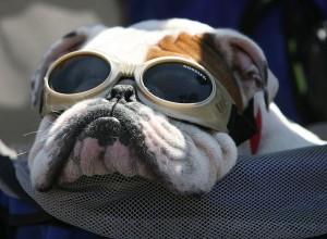 Doggles English Bulldog | The Lonely Tribalist