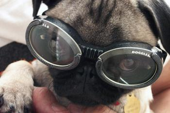 Doggles Pug Puppy | The Lonely Tribalist