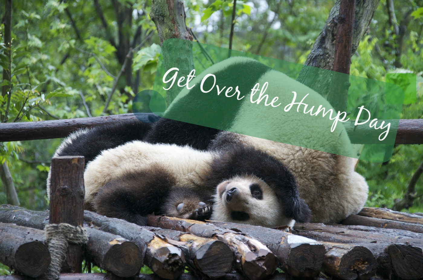 cute wresting pandas hump day banner   the lonely tribalist
