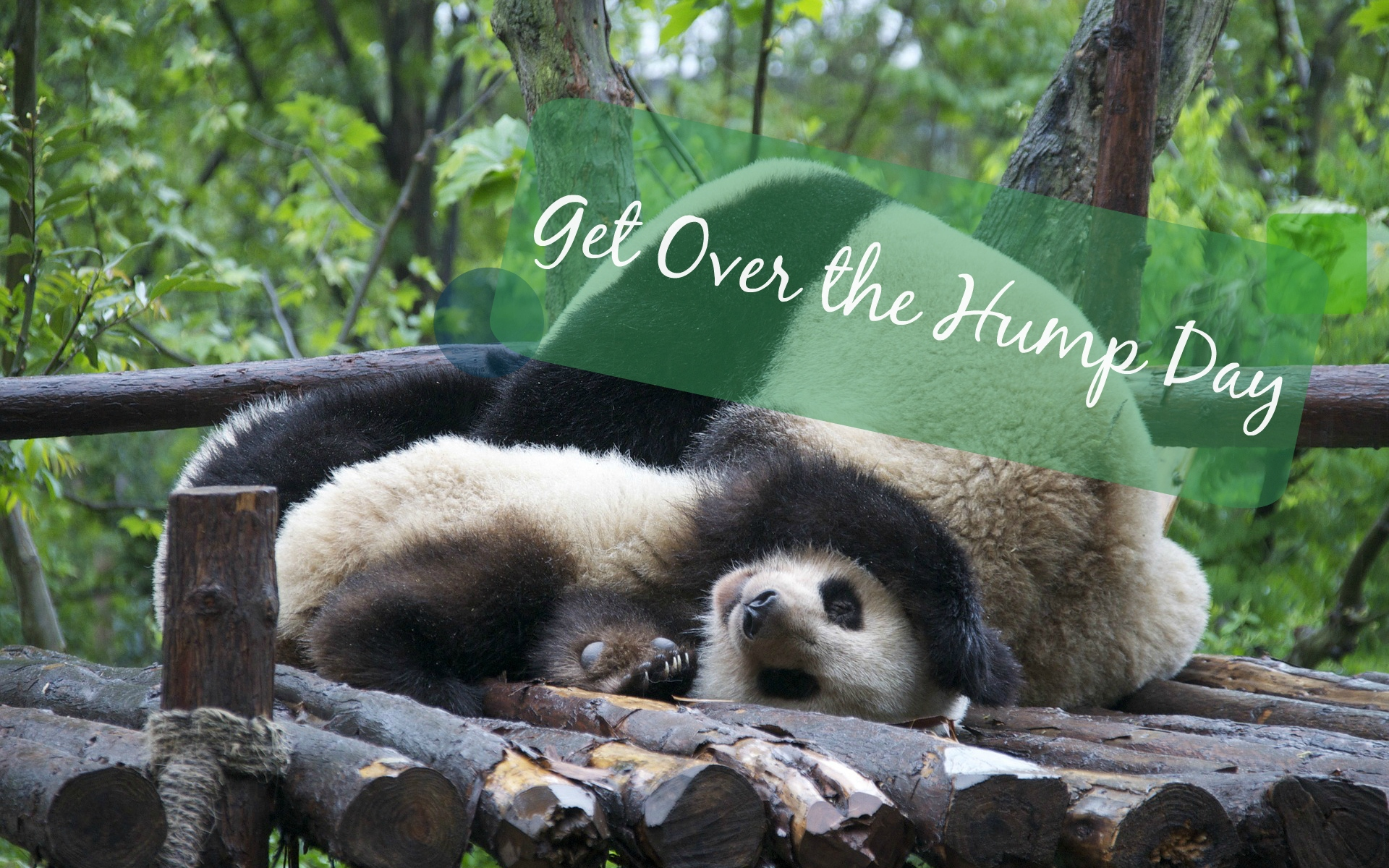 cute wresting pandas hump day banner | the lonely tribalist