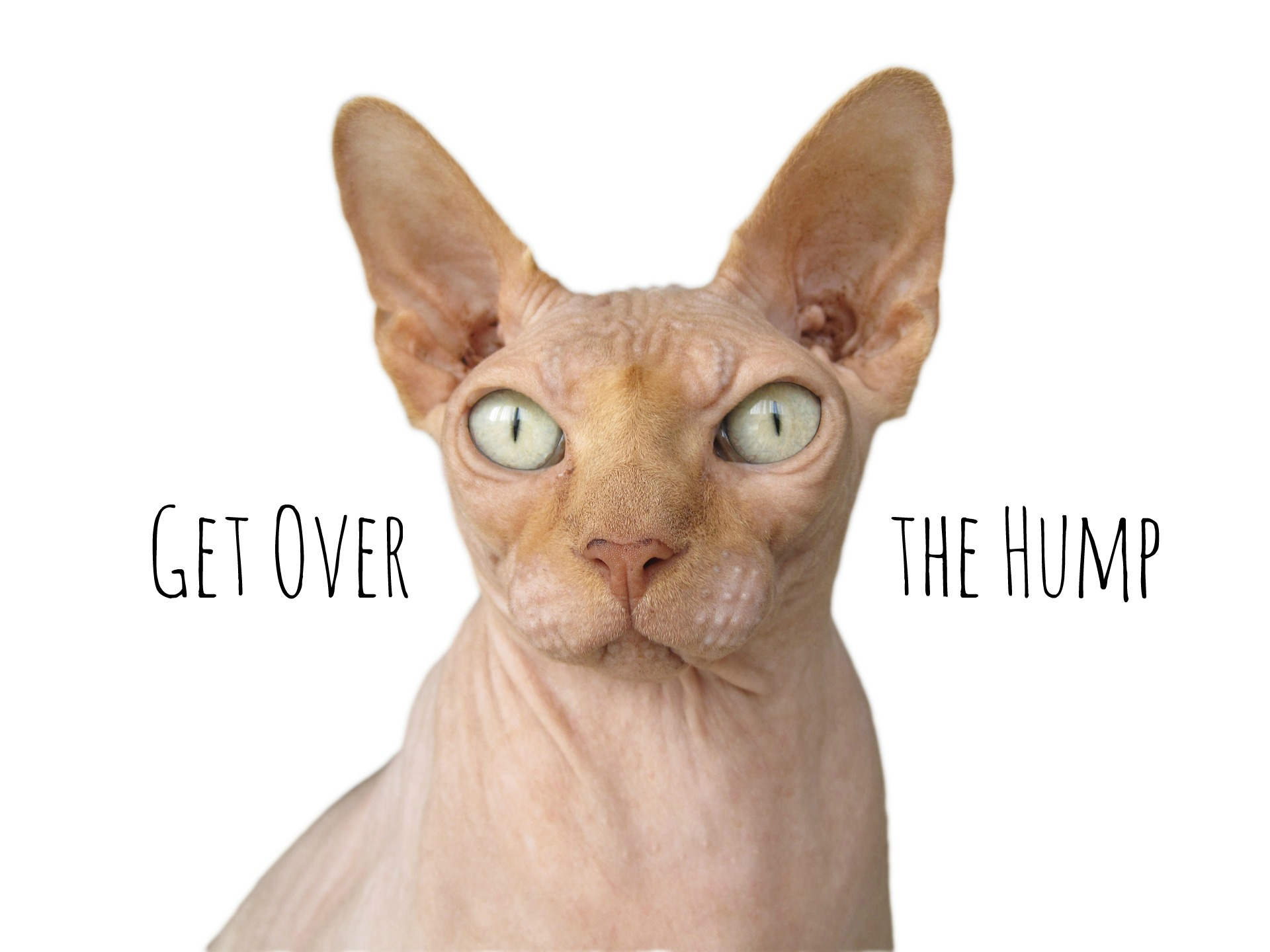 get over the hump sphynx banner | the lonely tribalist