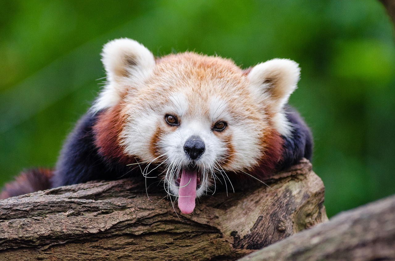 cute red panda yawn | the lonely tribalist