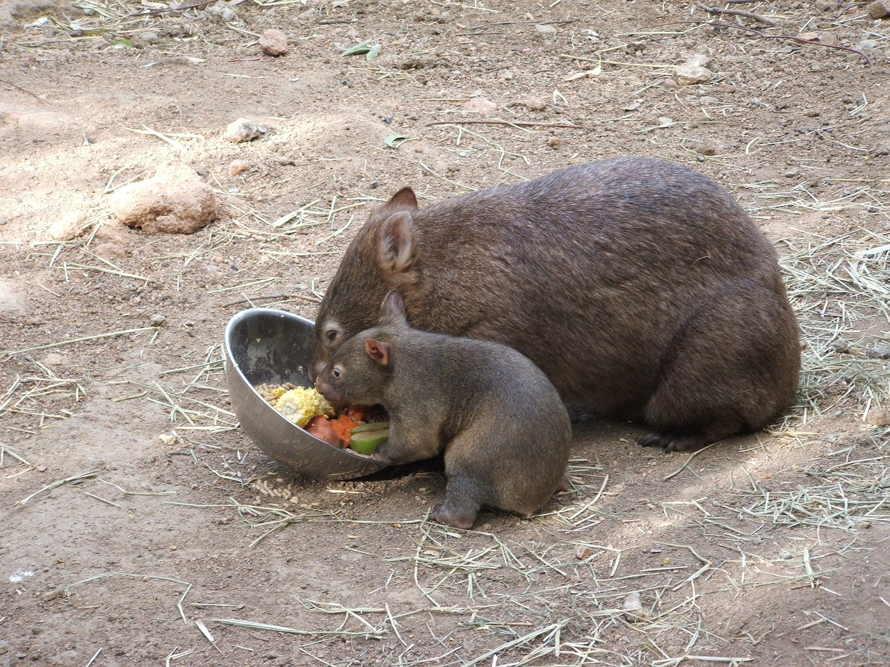 wombat mother and baby | the lonely tribalist